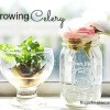 Regrowing Celery (FFD Family Experiment)